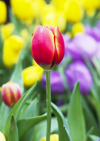 Close up of Red and yellow Tulips flower buds in nature background photo