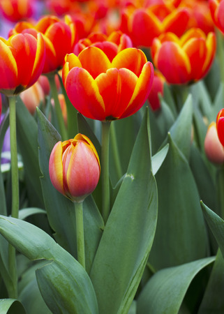 Close up of Tulips flower buds in nature background photo