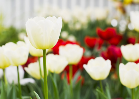 Close up of White Tulips flowers blooming in garden photo