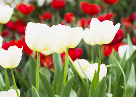 Close up of White Tulips flowers blooming photo