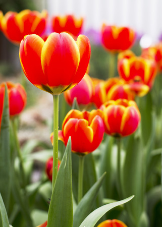 Orange and Yellow Tulips flower blooming with close up background photo