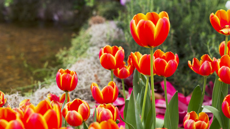 Orange and Yellow Tulips flower blooming photo