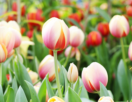 Tulips flower blooming morning background photo