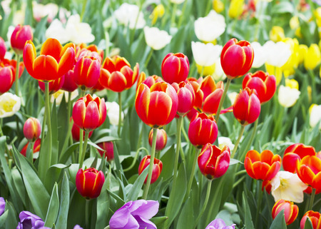 Tulips flowers blooming in nature background photo