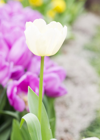 White Tulips blooming with close up background stock photo photo