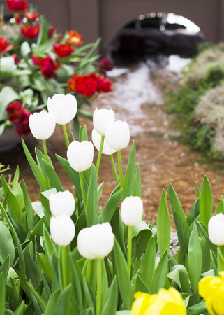 White Tulips flowers blooming and water background photo