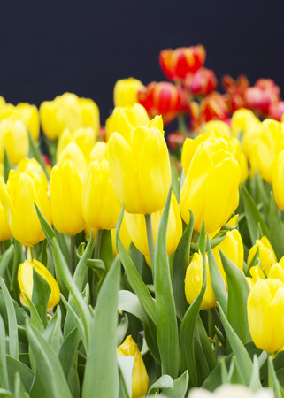 Yellow Tulips blooming in nature background photo