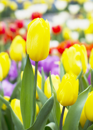Yellow Tulips buds in nature background photo