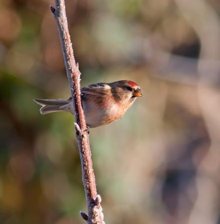 lesser: Lesser Redpoll on a frosty branch