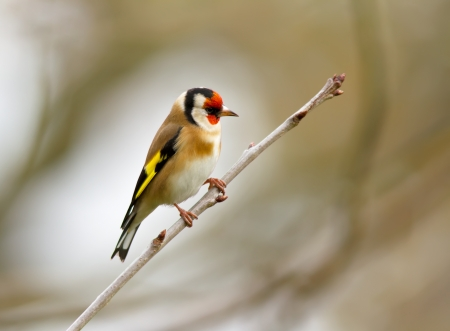 goldfinch: Goldfinch perched on a tree branch
