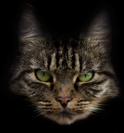 cat head: Cat head with beautiful eyes and a dark background.