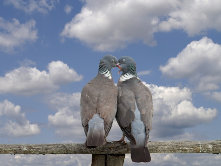 Affectionate birds perched on a wooden fence,love,kiss. photo