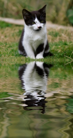 Cute kitten with a reflection in the water. photo