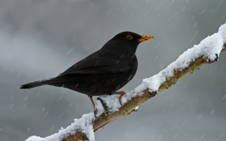Blackbird on a snowy branch. photo