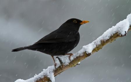 turdidae: Blackbird on a snowy branch.