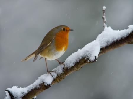 redbreast: Robin on a snowy branch