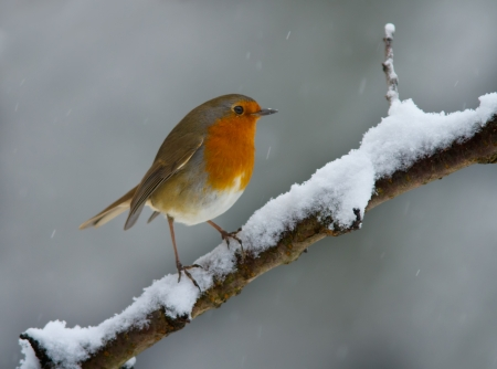perching: Robin on a snowy branch