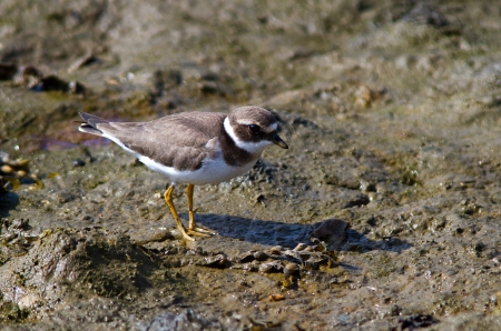 ringed: Ringed Plover searching for food on the beach.