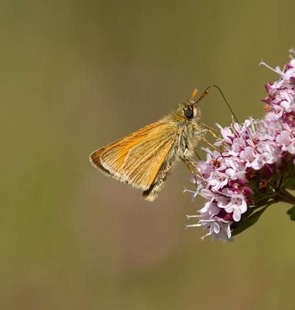 skipper: A Small Skipper feeding on a wildflower. Stock Photo