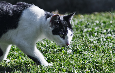 stalking: A stalking black and white cat. Stock Photo