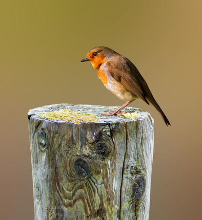 Robin perched on a tree stump Stock Photo