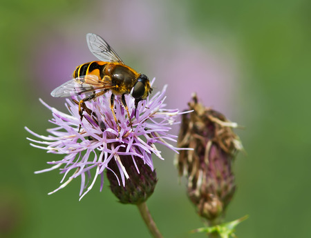 entomology: Hoverfly feeding on a Thistle flower. Stock Photo