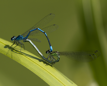 sexual intercourse: Two Damselfly mating on a reed.