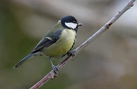 great tit: Great tit perched on a tree branch. Stock Photo