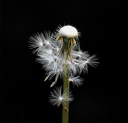 dandelion seed: Stylized image of a dandelion seed head.
