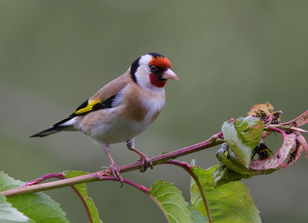 goldfinch: Goldfinch perched on a tree branch.