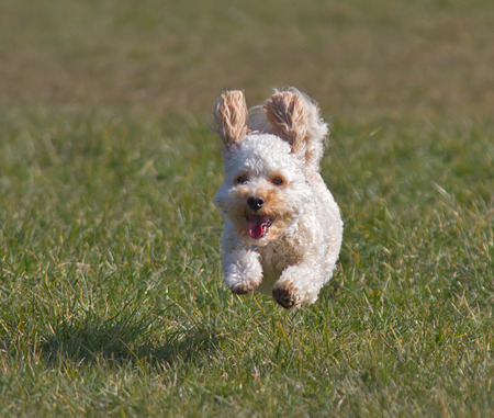 captured: Cavapoo puppy running and captured in mid air. Stock Photo