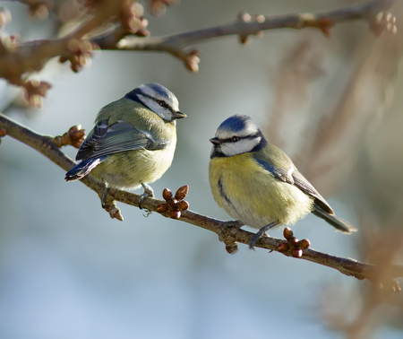 tetas: Tetas azul posado en una rama.