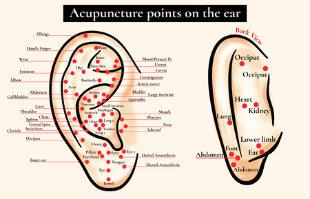 Reflex zones on the ear. Acupuncture points on the ear. Map of acupuncture points (reflex zones) on the ear. Stock Vector - 56909644
