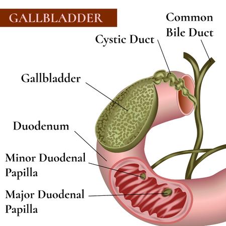 bile duct: Gallbladder. Bile duct. Duodenum.