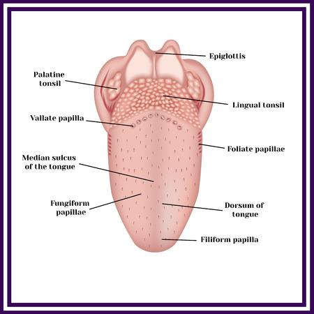 De structuur van de menselijke tong