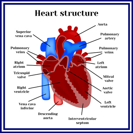 tricuspid valve: Heart structure. The organ of the circulatory system.
