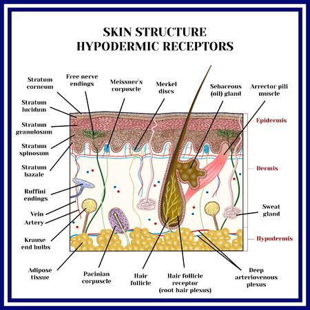 Skin structure. Hypodermic receptors (meissner corpuscle, merkel discs, pacinian corpuscle, ruffini endings, krause end bulbs, free nerve endings, sweat gland).
