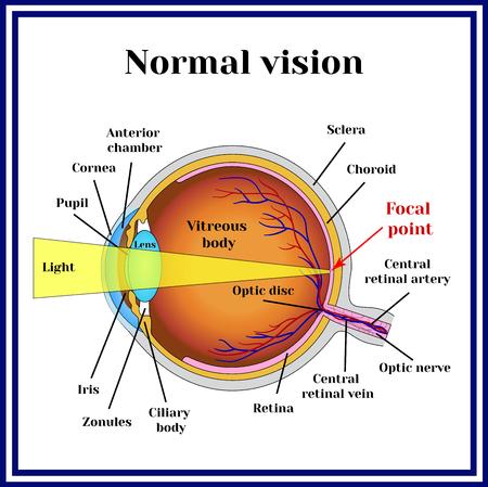 正常な視力。眼球構造。
