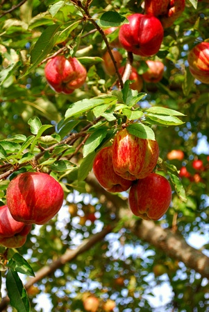 homegrown: Looking up at apples in a home-grown apple tree. Stock Photo