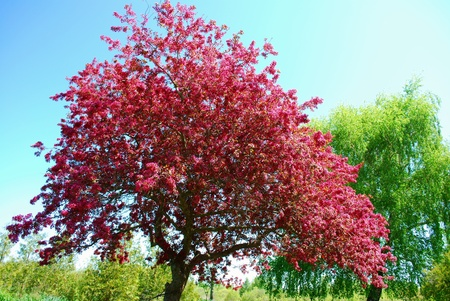 Crab apple tree in full bloom. Gorgeous burst of color with a green willow tree in the background.