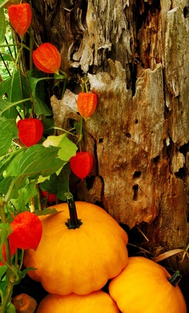 Background created from the bark of an old tree in its natural surroundings, as well as a Chinese Lantern Plant (Physalis alkekengi). The three squash were placed seperately. Combined, they create a unique backdrop for a Thanksgiving or Halloween message. photo
