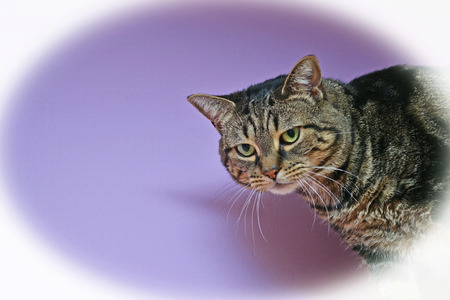 brown background: Close-up of a female, brown tabby cat looking towards the camera. Violet background provides copy space. Image is framed with a white vignette.