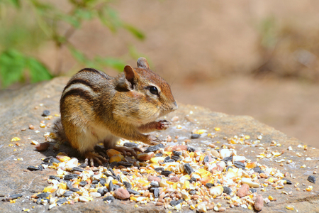 the cheeks: Chipmunk with chubby cheeks stands on a stone with bird seed. Blurred background provides copy space.