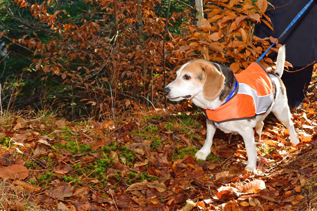 Older beagle wears a safety vest in autumn to stay safe during hunting season.