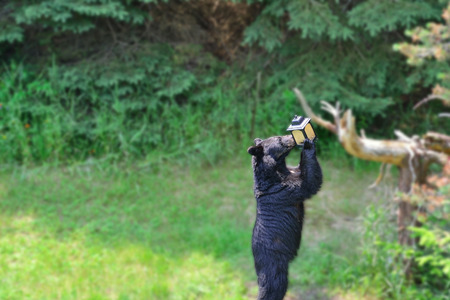 Black bear getting seed out of a bird feeder. Gaussian blur filter applied to background so the eye is drawn into what the bear is doing. Stock fotó
