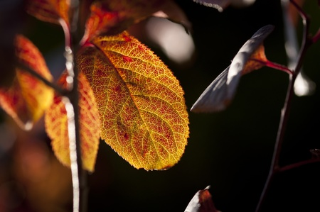 A beautiful leaf showing the change of seasons being backlit from the sun. Stock Photo