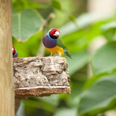 The Australian Gouldian Finch in captivity is now an endangered species.