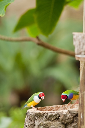 The Australian Gouldian Finch in captivity is now an endangered species.