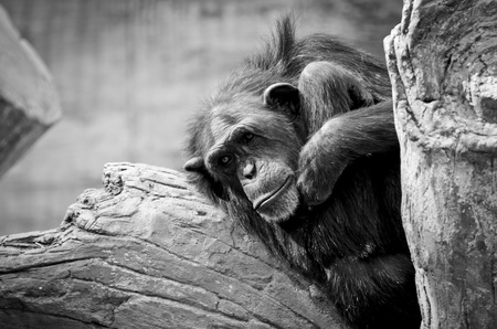 A chimpanzee looking sad and and unhappy hunched on a branch. Stock Photo - 13571676