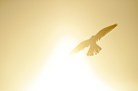 A common kestrel flying through the sunlight Stock Photo